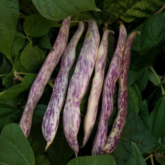 Marvel of Piedmont Bush Snap Bean