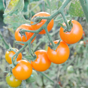 Tomato, Santiam Sunrise (Organic)