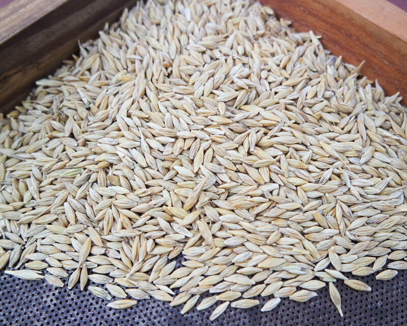 how to grow barley seeds
