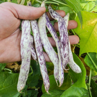 Bush Snap Bean, Marvel of Piedmont (Organic)