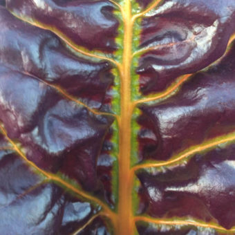 Chard, Joy's Midnight (Organic)