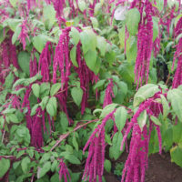 Love Lies Bleeding Amaranth