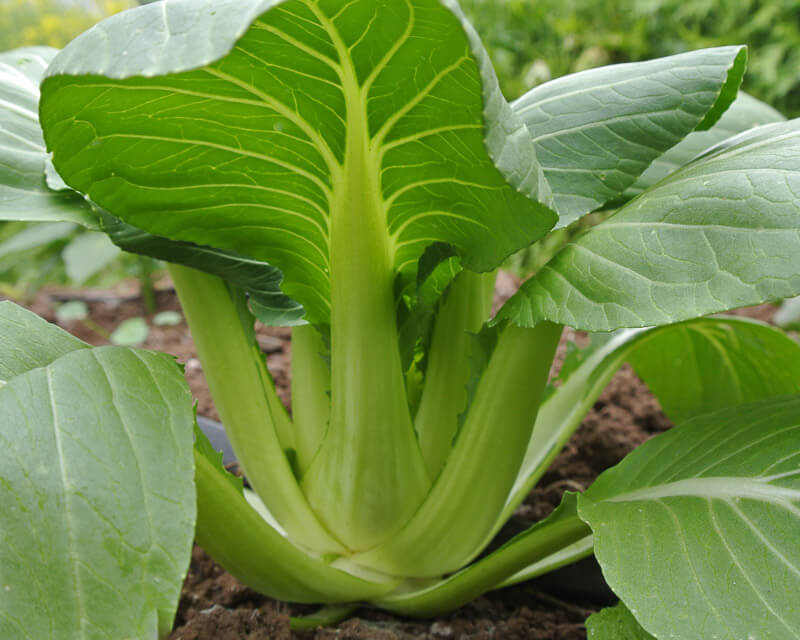 pak choi luck dragon organic adaptive seeds. Black Bedroom Furniture Sets. Home Design Ideas