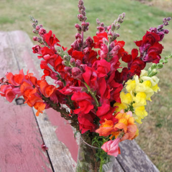 Defiant Mix Snapdragon