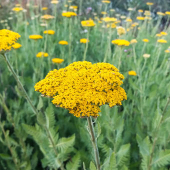 Parker's Gold Yarrow