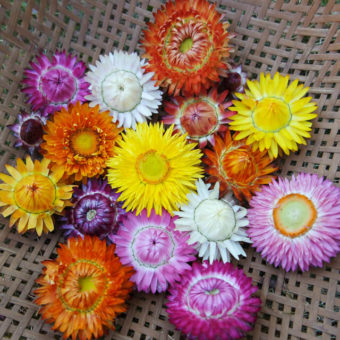 Strawflower, Monstrosum Mix (Organic)