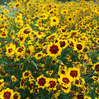 Coreopsis, Tall Plains (Organic)