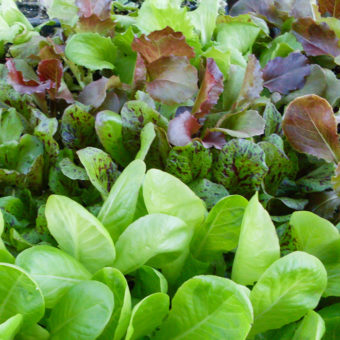 Adaptive Seeds Summer Lettuce Mix (Organic)