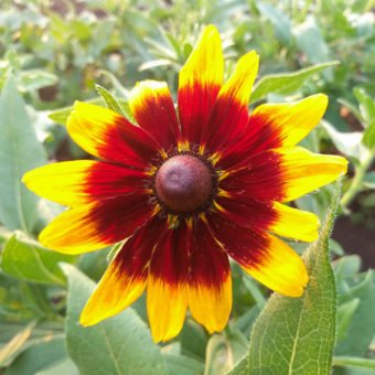 Autumn Forest Rudbeckia