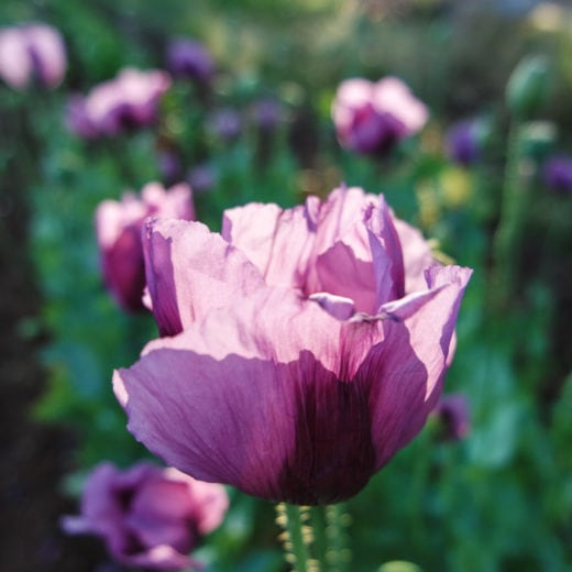 Hungarian Blue Breadseed Poppy
