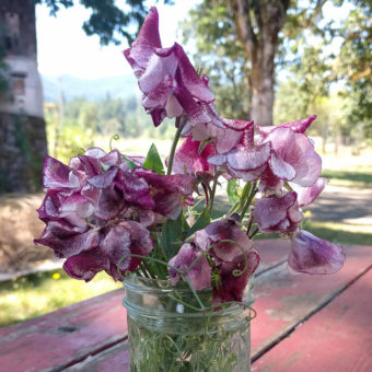 Sweet Pea Wiltshire Ripple