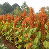 Copperhead Amaranth