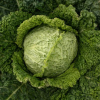 Winter King Savoy Cabbage