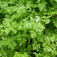 chervil great green