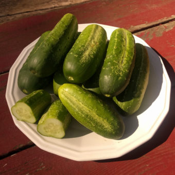 Cucumber, Morden Early Pickling