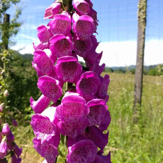 Excelsior Foxglove