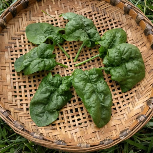 Abundant Bloomsdale Spinach