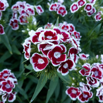 Holborn Glory Sweet William