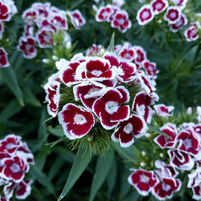 Image result for sweet william