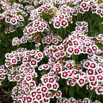 Sweet William, Holborn Glory (Organic)