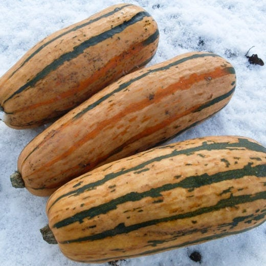 Organic Honey Boat Delicata Winter Squash Seed