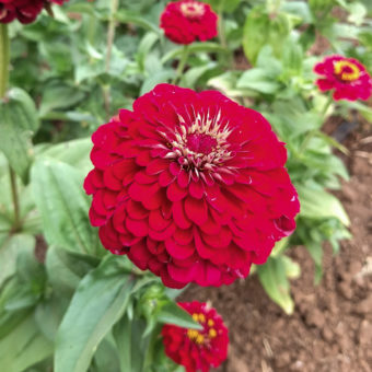 Zinnia, Super Yoga Red (Organic)