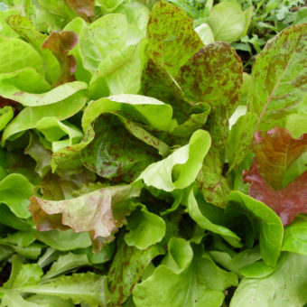 Adaptive Seeds Cool Season Lettuce Mix (Organic)