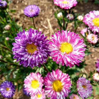 Aster, Matsumoto Striped Adaptive Mix (Organic)
