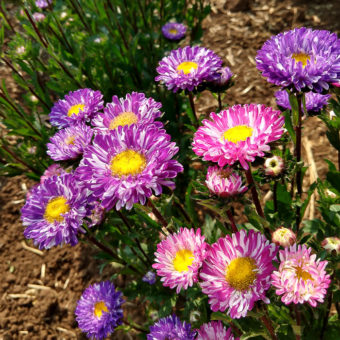 Aster, Matsumoto Striped Adaptive Mix