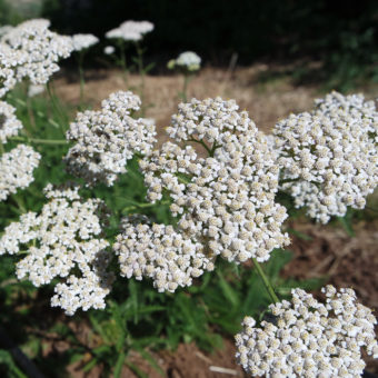 Yarrow, Danish (Organic)