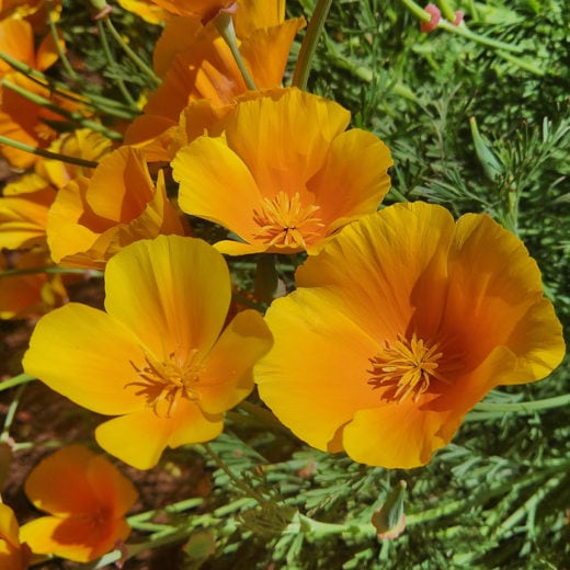 Golden West California Poppy