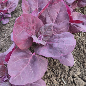 Orach, Red Flash (Organic)