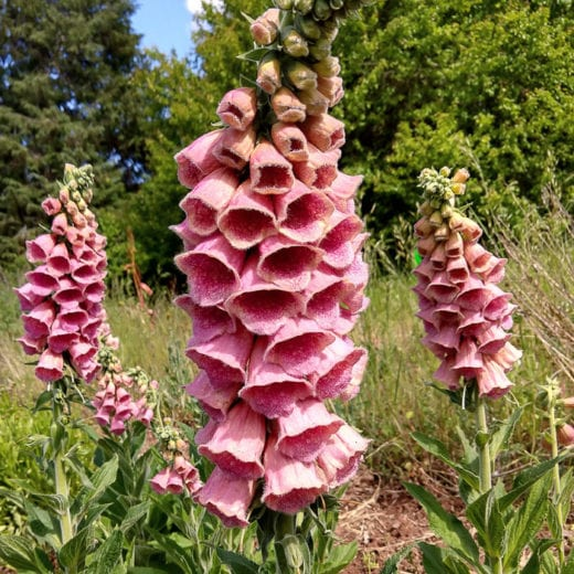 Strawberry Foxglove