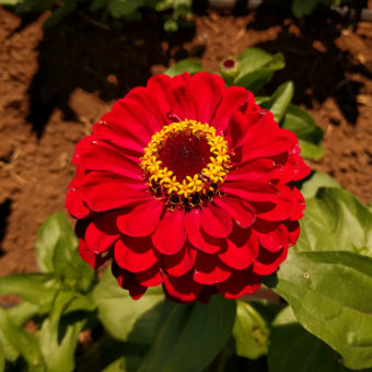 Super Yoga Zinnia