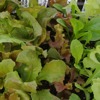 butterhead lettuce mix