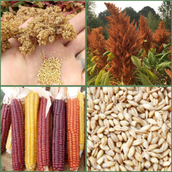 Seed Collections, Grow Your Own Grain (Organic)