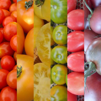 Seed Collections, The Tomato Rainbow Connection (Organic)